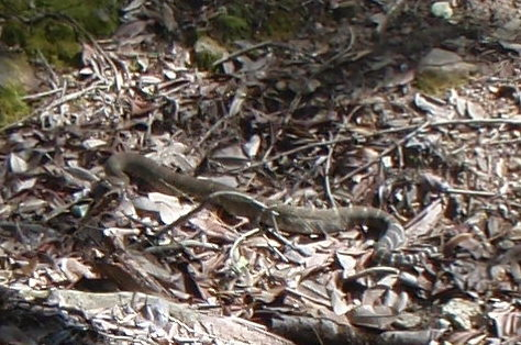 Snake fleeing